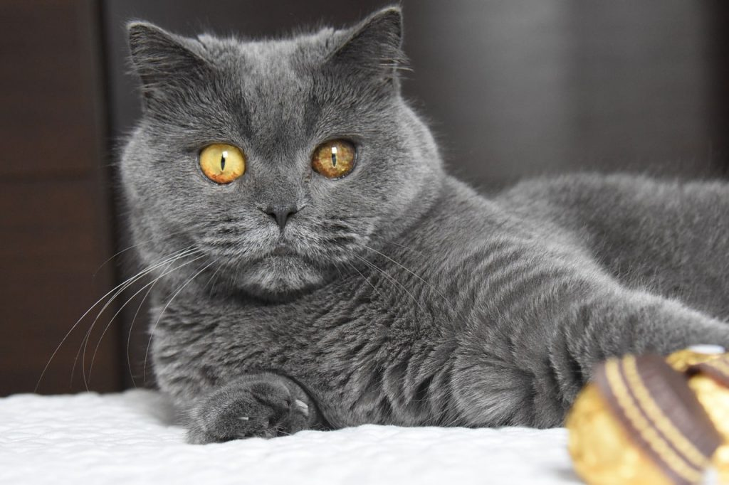 British Shorthair gris