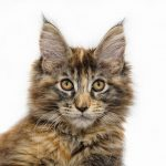 Main Coon de Face