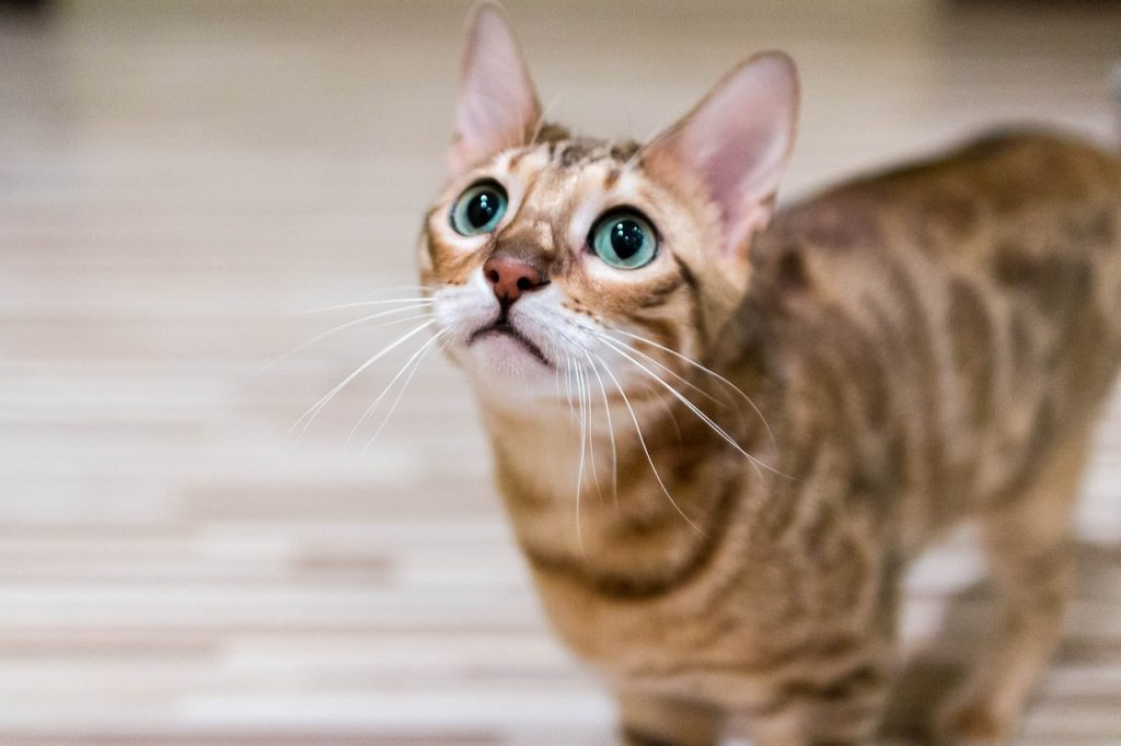 Chat Bengal attend