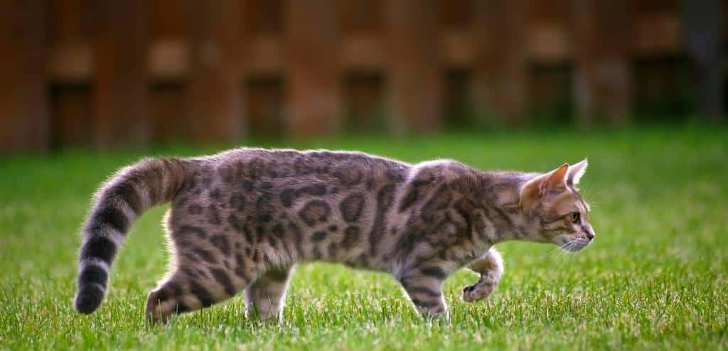 Chat Bengal chasse