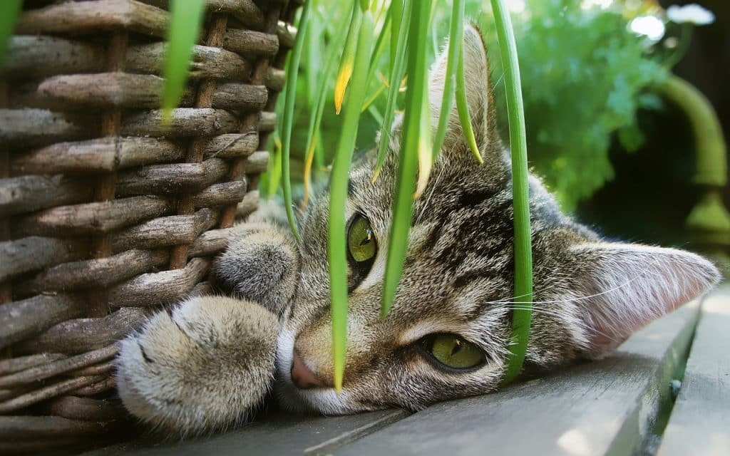 Pot d'herbe à chat