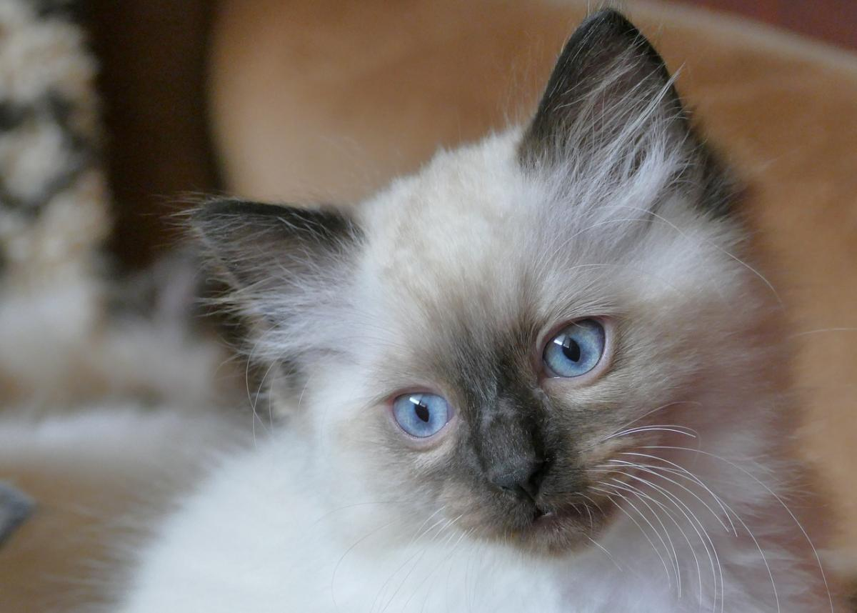 Chaton Ragdoll en photo